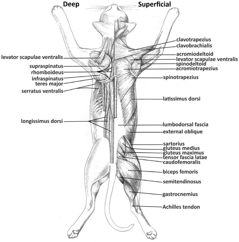 Full Dorsal Diagram Shoulder Dorsal Arm Upper And Lower Back Bulb
