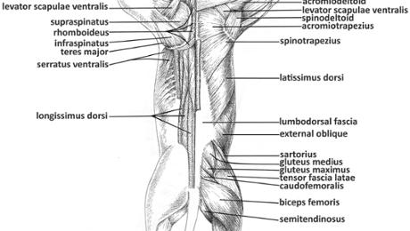 Cat muscle dissection dorsal muscles of back arm shoulder bulb full dorsal diagram shoulder dorsal arm upper and lower back ccuart Gallery