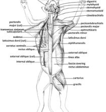 Cat Muscle Dissection Muscles Of Chest Neck Arms And Abdomen Bulb