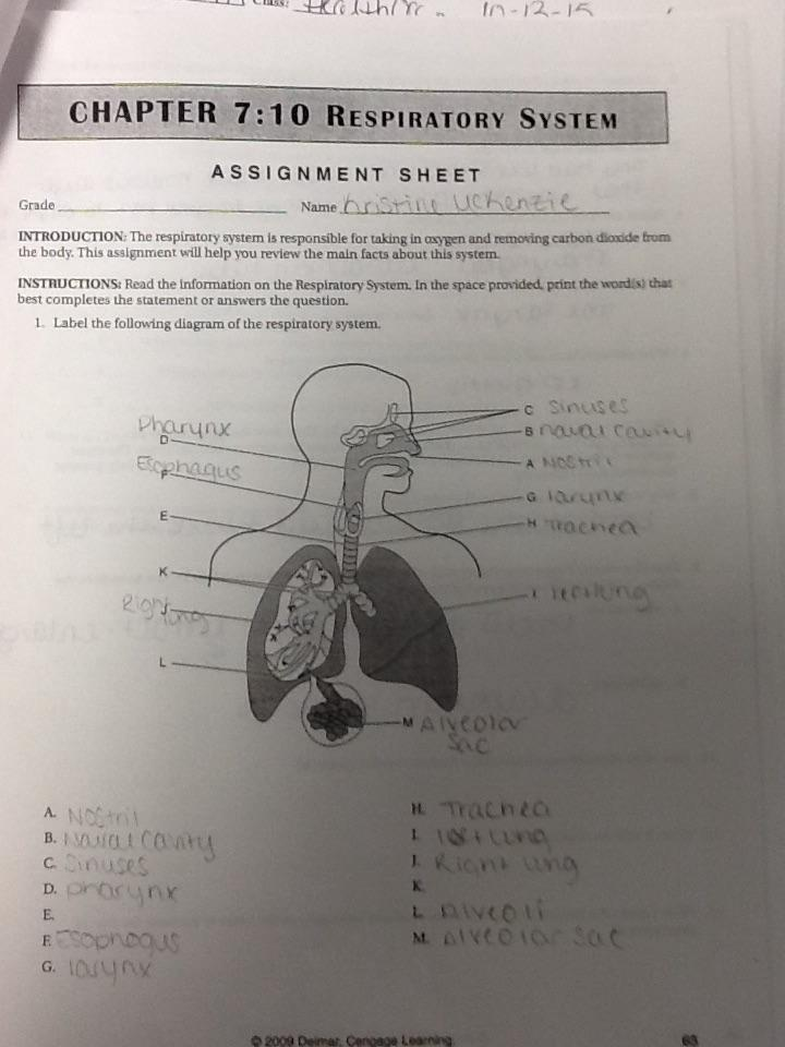 Chapter 7 Crossword Puzzle The Respiratory System Answer ...