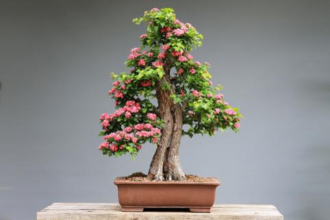 Cherry Blossom Bonsai Prunus Serrulata Bulb